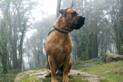 Dog Boerboel Breed sitting in a big rock in the middle of a Beautiful forest royalty free stock photo
