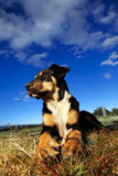 Dog with bone. Dog with bone looking into the setting sun Royalty Free Stock Photo