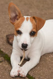 Dog with a Bone. Jack Russell Terrior dog chewing on a bone royalty free stock images
