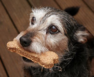 Dog with a bone. Close-up of terrier dog with a bone shaped biscuit in his mouth Royalty Free Stock Photo