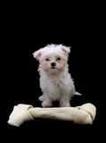 Dog with Bone. A cute little dog standing next to a big bone Royalty Free Stock Image