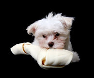 Dog with Bone. A cute little dog eating  a big bone Royalty Free Stock Photography