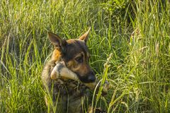 Dog with bone. Dog with big bone sitting in grass stock images