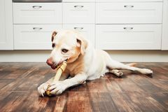 Dog with bone. Cheerful labrador retriever biting large bone for dental heath in the home kitchen royalty free stock images