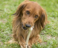 Dog with a bone Stock Photo