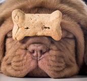 Dog with a bone. Dogue de bordeaux puppy with a dog buscuit on her nose Royalty Free Stock Images