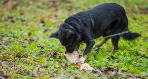 Dog and bone Royalty Free Stock Image