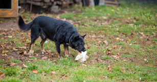Dog and bone Stock Photos