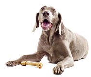 Dog with bone Stock Images