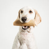 Dog with Bone Royalty Free Stock Images