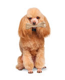Dog with a bone Stock Photography