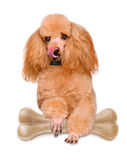 Dog with a bone. Isolated on white stock images