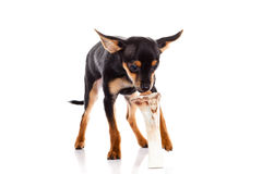 Dog and bone isolated on white background Royalty Free Stock Photos