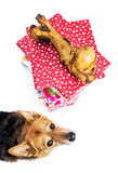 Dog with bone present Stock Image