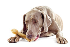 Dog with bone Royalty Free Stock Photos
