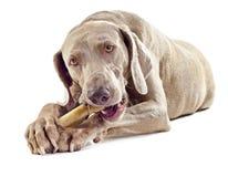 Dog with bone. On white background Royalty Free Stock Photography