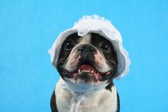 Dog bonnet. A boston terrier in a baby bonnet Stock Image