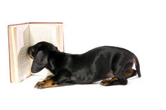 Dog with book. Black dog puppy Lays with a book and Reads on white background isolated Royalty Free Stock Photo
