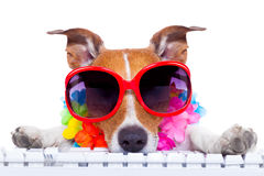 Dog booking online. Jack russell dog booking summer vacation holidays online using a pc computer keyboard, wearing sunglasses and a flower chain , isolated on royalty free stock photography