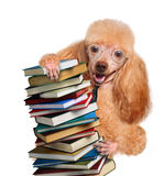 Dog with books Stock Photo