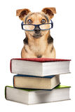 Dog Books Spectacles Small Fawn Isolated Stock Images