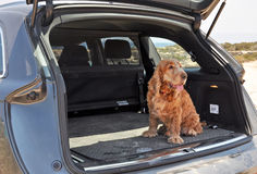 Dog in a Boot. English Cocker Spaniel sitting in the boot of a jeep stock photo