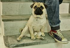 Dog and the boot. Pug dog sitting near the foot of its owner on Mykonos, Greece Stock Photography
