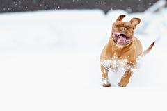 Dog Bordeaux dog Stock Image