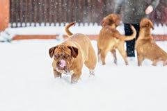 Dog Bordeaux dog Stock Photo