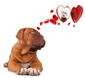 Dog Bordeaux inlove Royalty Free Stock Photography
