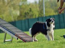 Dog, border collie in agility in zone. Dog, border collie in agility. Amazing evening, Hurdle having private agility training for a sports competition royalty free stock image