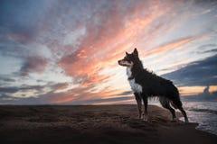 Dog border collie on the beach Stock Photography