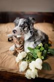 A dog border collie and cat on bed with flowers. concept love. 8 march stock images