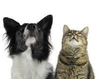 Dog, border collie, cat, looking up Royalty Free Stock Photo