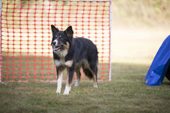 Dog, Border Collie, hooper training. Border Collie in hooper training Royalty Free Stock Photography