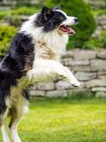 Dog, border collie, jumping in action Stock Photo