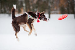Dog jumping and catching a flying disc in mid-air Stock Image