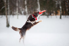 Dog jumping and catching a flying disc in mid-air Stock Images