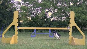 The dog border collie jumps through the colorful barriers in the middle of the green meadow, the girl handler. Slow. Slow motion shooting of Border collie jumps stock video