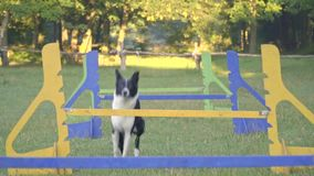 The dog border collie jumps over the colorfull barriers and runs next to the girl handler, slow motion shooting. The dog jumps over the barriers and runs next to stock video footage