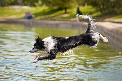 Dog border collie jumps into the water Stock Images