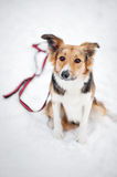 Dog border collie on a leash Stock Images