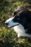 Dog border collie Stock Photo