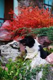 Dog breed Border Collie. Dog Border Collie lying in a garden stock images