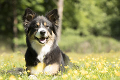 Dog, Border Collie, lying in grass with yellow flowers royalty free stock images