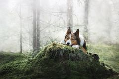 Dog border collie misty in the woods Stock Photo