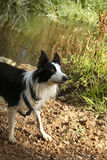 Dog - Border Collie with Natural Background Royalty Free Stock Photos