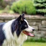 Dog, border collie, portrait of being happy. Dog, border collie, happy, portrait outdoors in the garden Stock Image