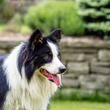 Dog, border collie, portrait of being happy. Dog, border collie, happy, portrait outdoors in the garden Royalty Free Stock Images