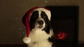 Dog border collie in red christmas hat new year. background fireplace , light, white stock video
